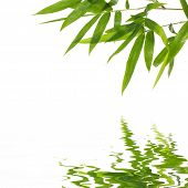 bamboo leaves with reflection