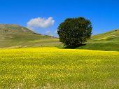 Lentils Field