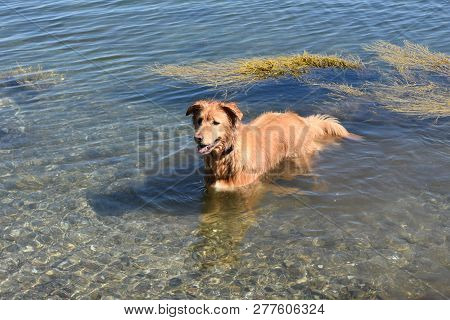 poster of Cute Toller Dog Wading In The Ocean Waters.