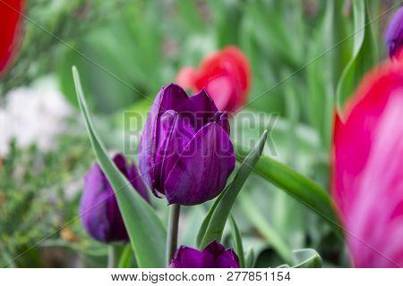 Tulips In A Field Of