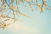 Spring Nature Background With Pussy Willow Branches poster