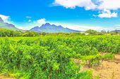 Seasonal Background. Vineyard With Rows Of Grapes In The Scenic Landscape Of Stellenbosch, Near Cape poster