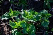 Stinging Nettle Leaves As Background. Beautiful Texture Of Nettle. Urtica Medical Herb Close Up, Col poster
