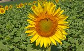 Sunflower In The Village Field