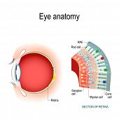 Eye Anatomy. Rod Cells And Cone Cells. The Arrangement Of Retinal Cells Is Shown In A Cross Section. poster