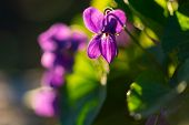 Common Violets (viola Odorata) Flowers In Bloom In The Garden Close Up. Selective Focus And Macro De poster