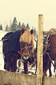 Horses In Sledding In Winter.  Horses Cart With A Carriage In The Snowy Village. Horses In Harness.  poster