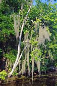 Spanish Moss In A Swamp