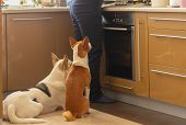 Basenji Dog With Its Mixed Breed White Friend Sitting Near Stove And Patiently Waiting Till Their Ma poster