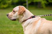 Portrait of Dog Labrador Retriever at park. Head of Adult Dog Breed Labrador with collar and leash o poster