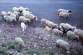 Flock Of Sheeps And Goats Crossing The Dry Gravel Road. Herd Of Domestic Mammal Walking Along Countr poster