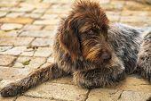 Hunting Dog. Drathaar.brown Adult Dog With Sad Eyes. A Brown Dog, A Hunting Dog Is A Drathaar. poster