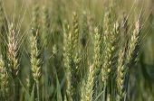 corn in summer field