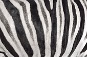 picture of hoof prints  - background which the structure of hide of zebra is represented on - JPG