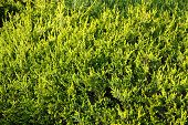 Green Cypress (thuja) Leaves Background