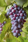 Red Bunches Of Grape