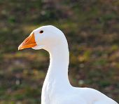 White Domestic Goose Close-up poster