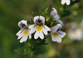 Common Eyebright Flower