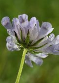 Small Scabious Flower
