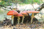 Four Red Mushrooms Fungi