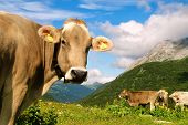 Cow In The Meadow Of Swiss Alps Mountains