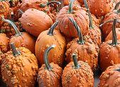 Bunch of knucklehead pumpkins