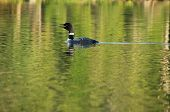 stock photo of loon  - Loon swims along the lake