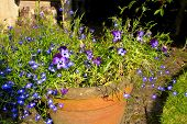 picture of lobelia  - Earthenware flowerpot containing pansies and lobelia flowers in garden setting - JPG