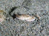 Crab under the sand