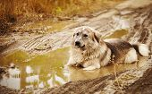 Dog lying in a puddle
