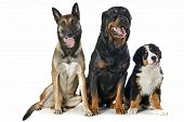 Puppy Bernese Moutain Dog, Malinois And Rottweiler