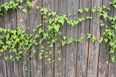 Ivy Grows On Old Wooden Fence