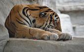 Sleeping Tiger 2