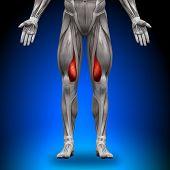 Vastus Medialis - anatomía de músculos