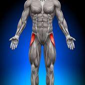 Tensor Fasciae Latea - anatomía de músculos