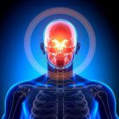 Crânio / crânio / mandíbula - anatomia ossos
