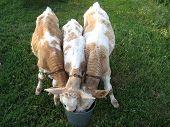 Three Calfs Drinks Water