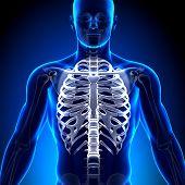 Costelas / esterno - anatomia ossos