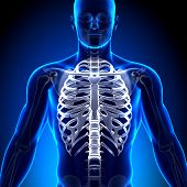 Rib Cage / Sternum - Anatomy Bones
