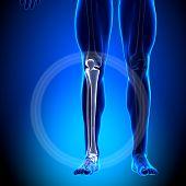 Tíbia / fíbula - bezerro anatomia - ossos de anatomia