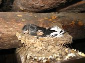Nest Of A Swallow With Nestlings