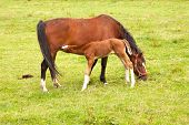 foto of mare foal  - brown foal drinks from mare in grassy meadow - JPG