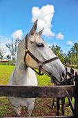 The beautiful head of a white horse on a green lawn. Riding school and breeding of thoroughbred racehorses