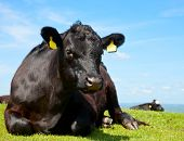 Black Aberdeen Angus cow at pasture in England