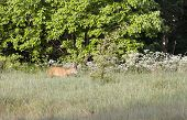 stock photo of roebuck  - Roebuck eating on hayfield near green forest - JPG