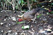 Rummaging Chicken