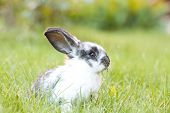 pic of wild-rabbit  - Rabbit bunny baby in green grass in the garden - JPG
