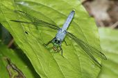 Blue Dasher Eating a Hover Fly