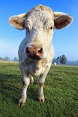 picture of charolais  - young white cow on green meadow in autumn - JPG