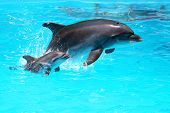 stock photo of mating animal  - Dolphin With A Baby Floating In The Water - JPG